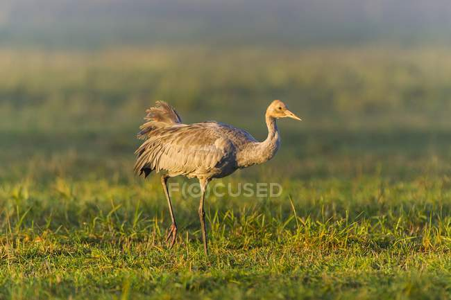 Common crane juvenile bird walking in in meadow, Fischland-Darss-Zingst, Mecklenburg-Western Pomerania, Germany, Europe — Stock Photo