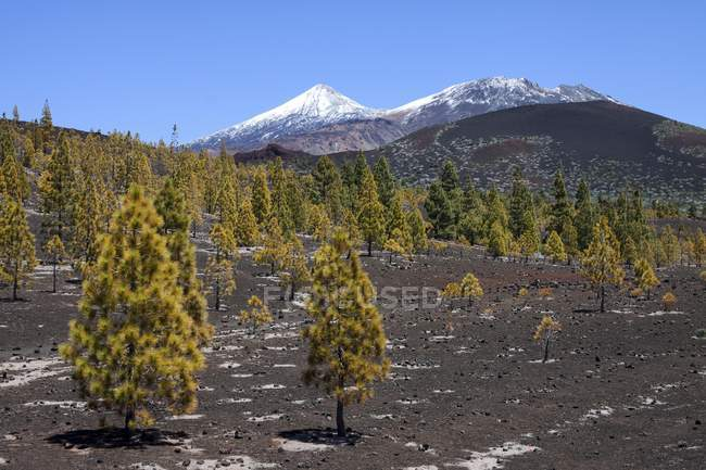 Canary pines in volcanic landscape, snow-capped Pico del Teide and Pico Viejo, Teide National Park, UNESCO World Heritage Site, Tenerife, Canary Islands, Spain, Europe — Stock Photo