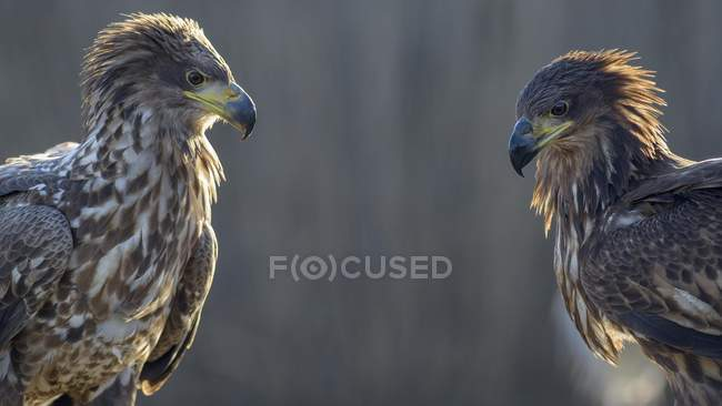 Two white-tailed eagles with wet plumage outdoors. — Stock Photo