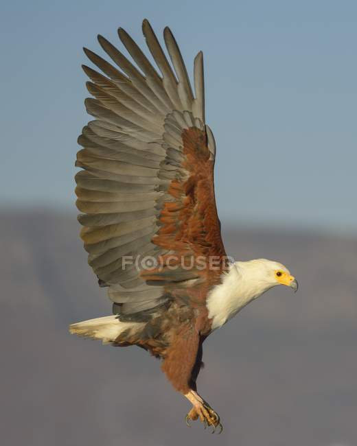 African fish eagle in flight, Zimanga Private Game Reserve, KwaZulu-Natal, South Africa, Africa — Stock Photo