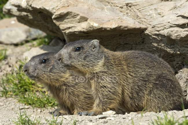 Attentive alpine marmots by burrow, Alp Trida, Samnaun, Canton of Grisons, Switzerland, Europe — Stock Photo