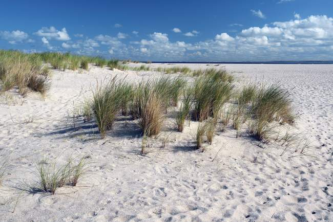Dünen mit europäischem Beachgras, Ellenbogen, List, Sylt, Nordfriesische Inseln, Nordfriesland, Schleswig-Holstein, Deutschland, Europa — Stockfoto