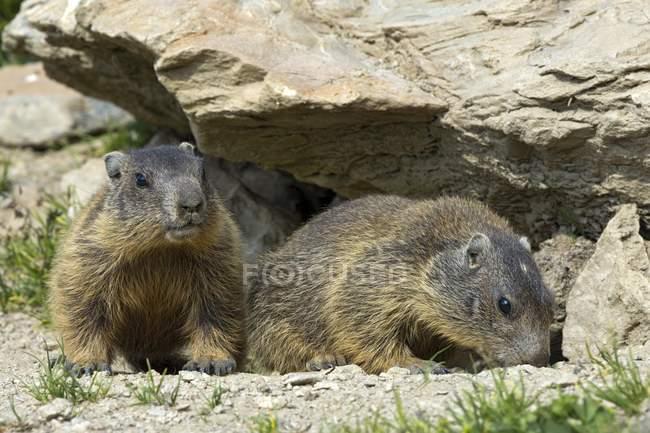 Alpine marmots by burrow, Alp Trida, Samnaun, Canton of Grisons, Switzerland, Europe — Stock Photo