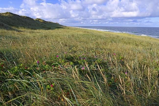Dunas gramíneas de Rantum, Sylt, Ilhas Frísias do Norte, Frisia do Norte, Schleswig-Holstein, Alemanha, Europa — Fotografia de Stock