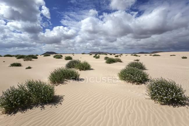 Plantas de florescência que crescem em dunas de areia, dunas errantes El Jable, las Dunas de Corralejo, parque natural de Corralejo, Fuerteventura, Ilhas Canárias, Spain, Europa — Fotografia de Stock