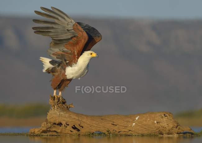 African fish eagle taking off of log in water, Zimanga Private Game Reserve, KwaZulu-Natal, South Africa, Africa — Stock Photo