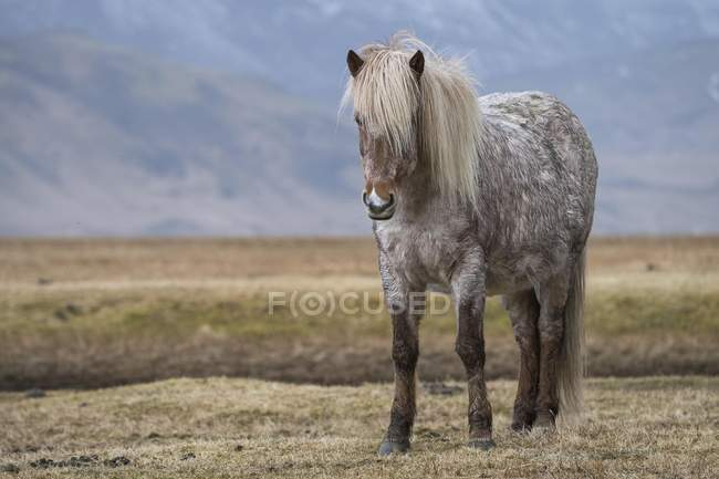 Icelandic horse standing in field, Vik, Iceland, Europe — Stock Photo