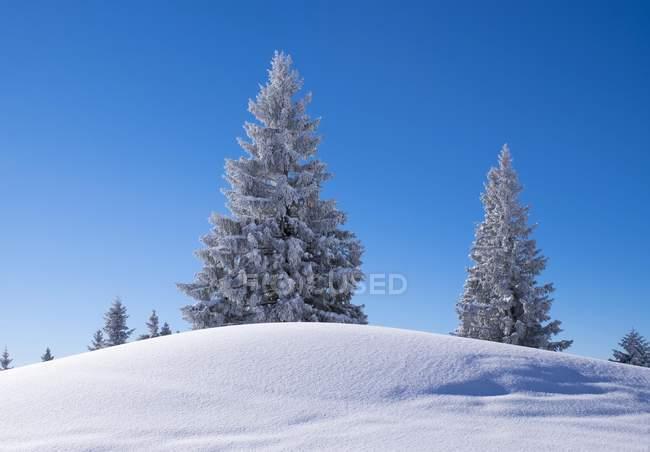 Снежные ели в горах Браунек, Исарвинкель, Верхняя Бавария, Бавария, Германия, Европа — стоковое фото