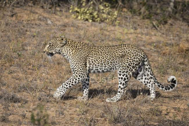 Walking leopard in meadow of Timbavati Game Reserve, South Africa, Africa — Stock Photo