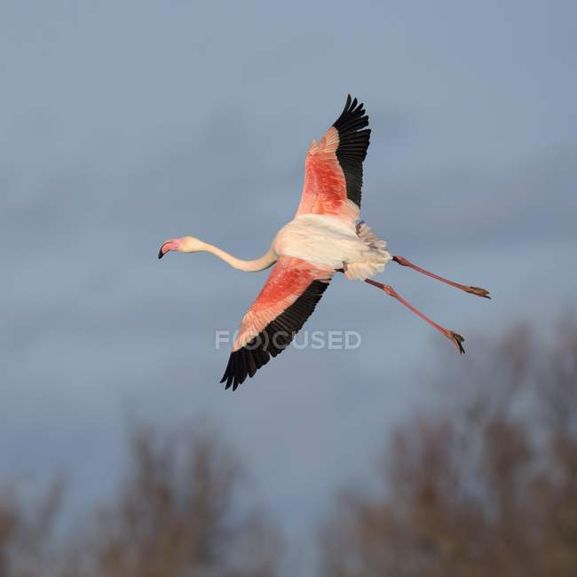 Greater flamingo in flight, Camargue, Southern France, France, Europe — Stock Photo