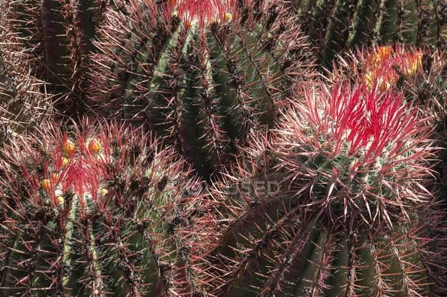 Cactus de baril avec de petites fleurs jaunes fermées, Fuerteventura, Iles Canaries, Espagne, Europe — Photo de stock