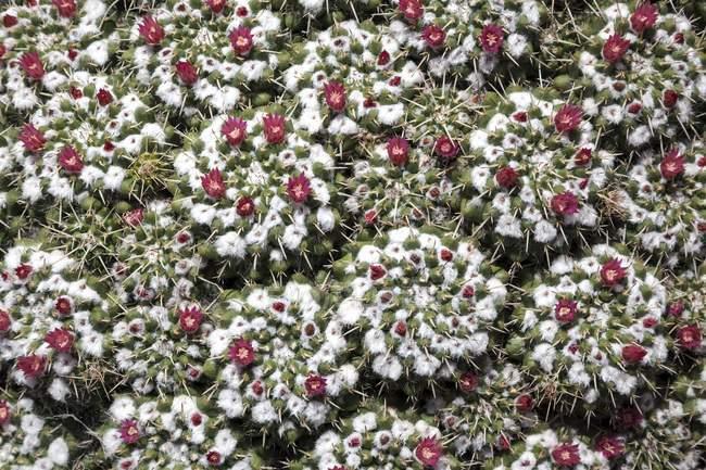 Mammillaria standleyi кактус цвітіння, Фуертевентура, Канарські острови, Іспанія, Європа — стокове фото