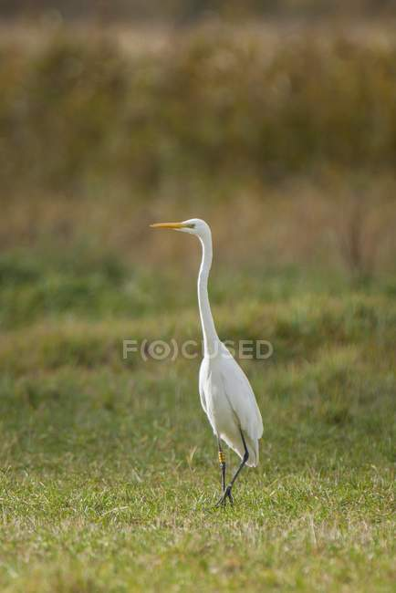 Common egret standing in meadow, Barhoft, Mecklenburg-Western Pomerania, Germany, Europe — Stock Photo