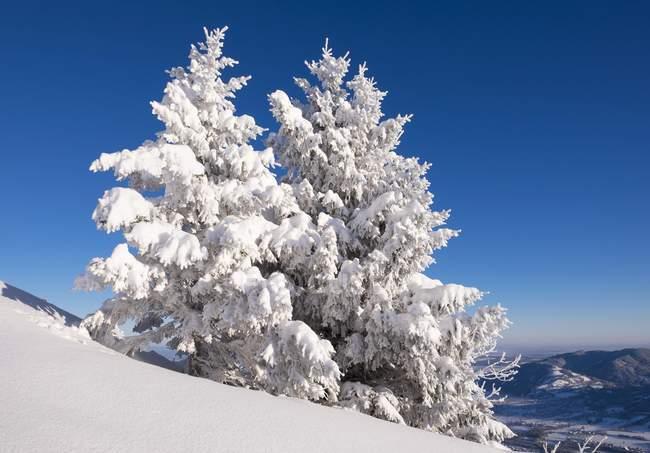 Árvores spruce Nevado em Brauneck, Lenggries, Isarwinkel, Bavaria superior, Baviera, Alemanha, Europa — Fotografia de Stock