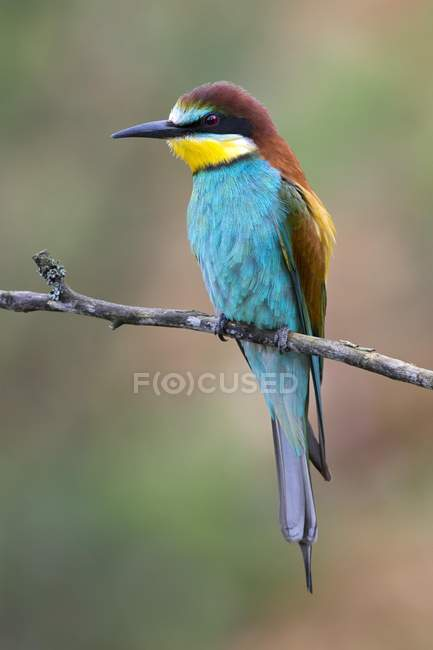 European bee-eater sitting on tree branch, close-up — Stock Photo