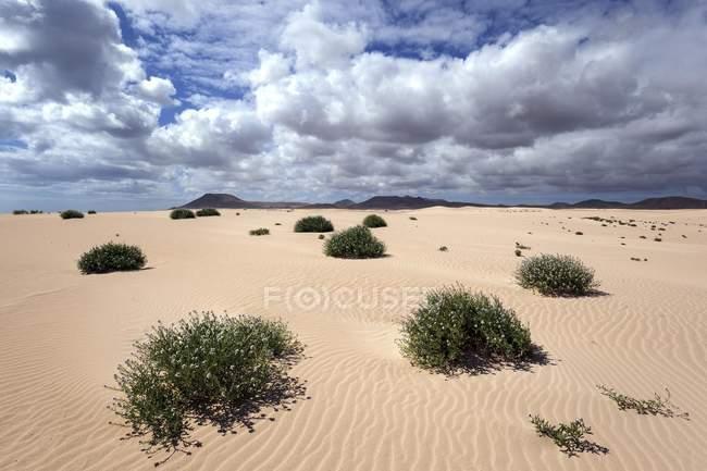 Flowering plants growing in sand dunes, wandering dunes El Jable, Las Dunas de Corralejo, Corralejo Natural Park, Fuerteventura, Canary Islands, Spain, Europe — Stock Photo