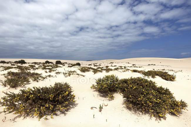 Blooming desert plants ononis in wandering dunes of El Jable, Las Dunas de Corralejo, Corralejo Natural Park, Fuerteventura, Canary Islands, Spain, Europe — Stock Photo