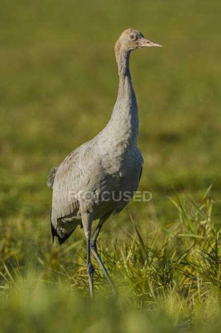 Common crane juvenile bird in meadow, Fischland-Darss-Zingst, Mecklenburg-Western Pomerania, Germany, Europe — Stock Photo