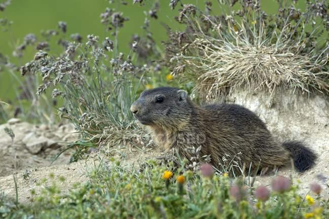 Alpine marmot near meadow burrow, Alp Trida, Samnaun, Canton of Grisons, Switzerland, Europe — Stock Photo