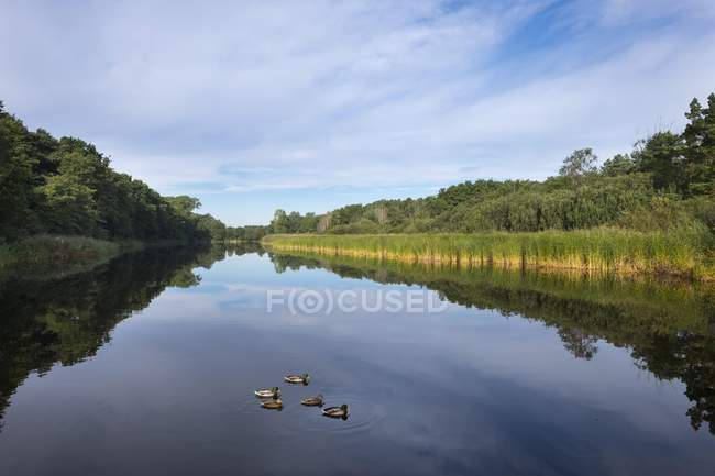 Prerower Strom water with floating mallards, Darss, Fischland-Darss-Zingst, Western Pomerania Lagoon Area National Park, Mecklenburg-Western Pomerania, Germany, Europe — Stock Photo