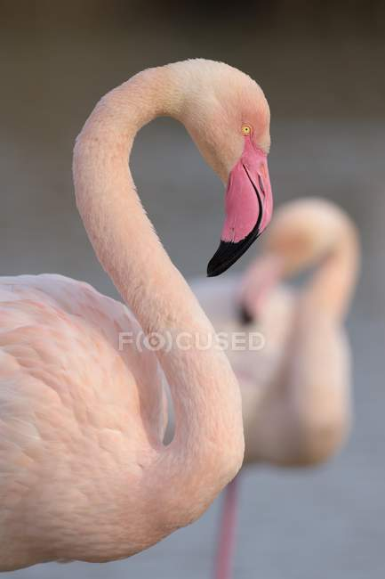 Greater flamingo portrait in breeding plumage, Camargue, Southern France, France, Europe — Stock Photo