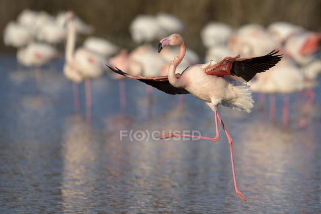 Greater flamingo landing on lake with flock, Camargue, Southern France, France, Europe — Stock Photo