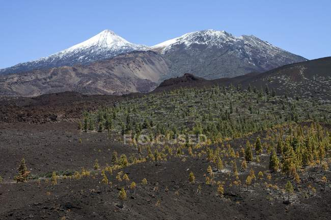 Volcanic landscape with Canary pines and snow-capped Pico del Teide and Pico Viejo, Teide National Park, UNESCO World Heritage Site, Tenerife, Spain, Europe — стоковое фото