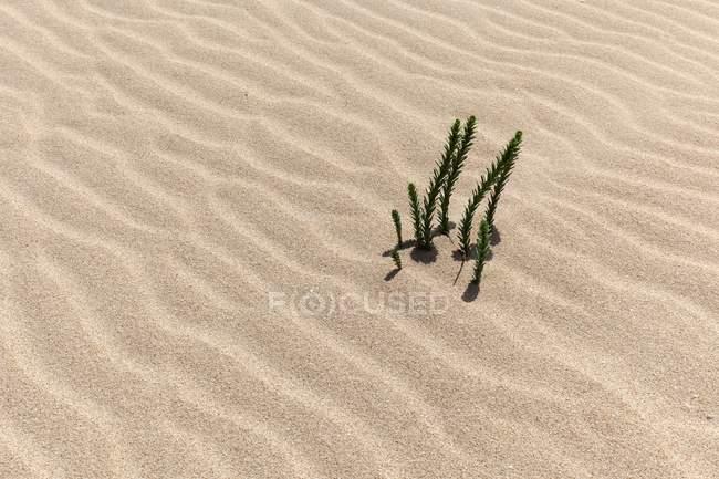 Plantas do Natrix de Ononis que crescem na areia de Duna errante de El Jable, las Dunas de Corralejo, parque natural de Corralejo, Fuerteventura, Ilhas Canárias, Spain, Europa — Fotografia de Stock