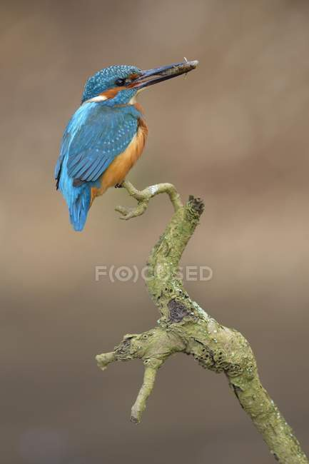 Kingfisher perched resting male with fish in beak, Neckartal, Baden-Wurttemberg, Germany, Europe — Stock Photo