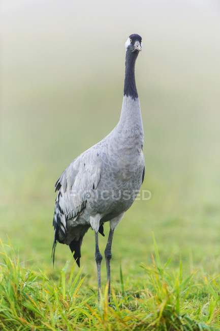 Common crane in morning mist, Fischland-Darss-Zingst, Barhoft, Mecklenburg-Western Pomerania, Germany, Europe — Stock Photo