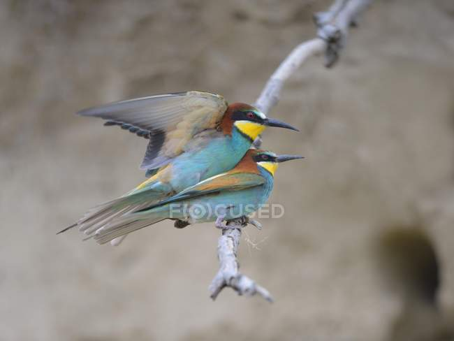 European bee-eaters breeding pair,mating on branch, close-up — Stock Photo
