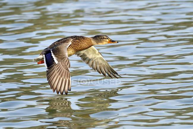 Mallard female in flight over water of lake — Stock Photo