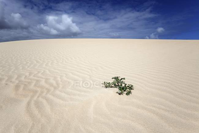 Green plant growing in sand dune, wandering dunes El Jable, Las Dunas de Corralejo, Corralejo Natural Park, Fuerteventura, Canary Islands, Spain, Europe — Stock Photo
