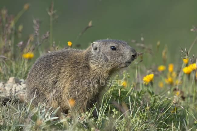 Young alpine marmot in flowery meadow, Alp Trida, Samnaun, Canton of Grisons, Switzerland, Europe — Stock Photo