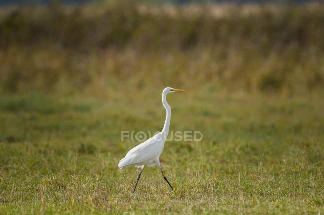 Great egret walking in green meadow, Barhoft, Mecklenburg-Western Pomerania, Germany, Europe — Stock Photo
