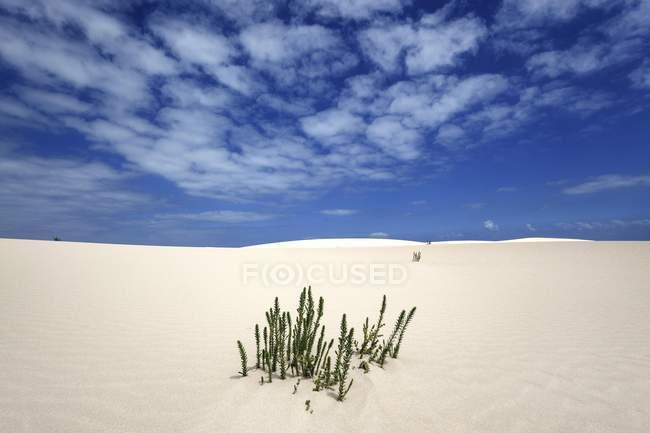 Ononis natrix plants growing in wandering dune sand of El Jable, Las Dunas de Corralejo, Corralejo Natural Park, Fuerteventura, Canary Islands, Spain, Europe — стоковое фото