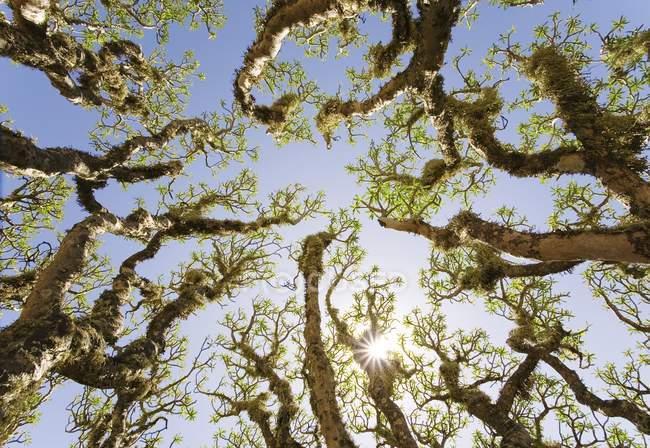 Buissons de berteloth ésule à Fuerteventura, Iles Canaries, Espagne, Europe — Photo de stock
