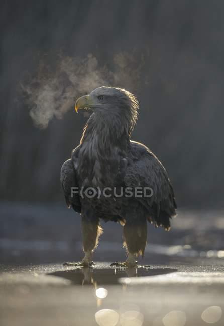 Seeadler, der im flachen Wasser des Teiches mit kondensierendem Atem steht — Stockfoto