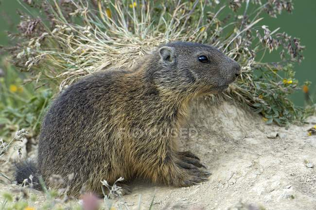Alpine marmot in Alp Trida, Samnaun, Canton of Grisons, Switzerland, Europe — Photo de stock