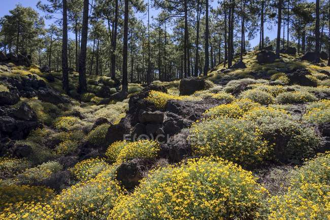 Yellow flowering broom Genista in pine woods, Teide National Park, UNESCO World Heritage Site, Tenerife, Canary Islands, Spain, Europe — Stock Photo