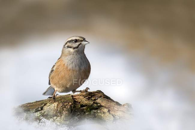 Rock bunting sitting on branch in winter, Tyrol, Austria, Europe — стоковое фото