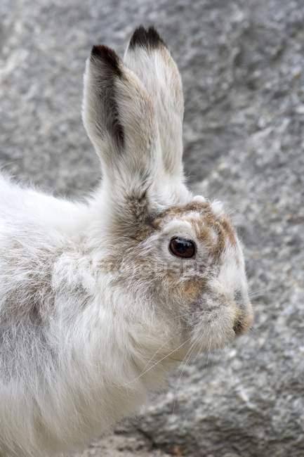 Lepus timidus, ritratto animale, cominciando la conversione da cappotto di inverno a cappotto estivo, in cattività — Foto stock