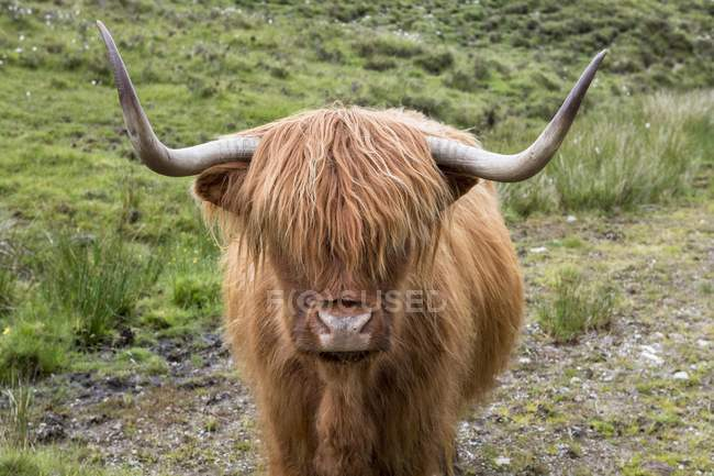 Scottish Highland Cattle, ritratto animale, isola di Skye, Ebridi, Scozia, Regno Unito, Europa — Foto stock