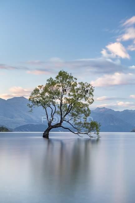 Одно дерево, стоя в воде, озеро Wanaka, Ройс залив, Отаго, Южный остров, Новая Зеландия, Океания — стоковое фото