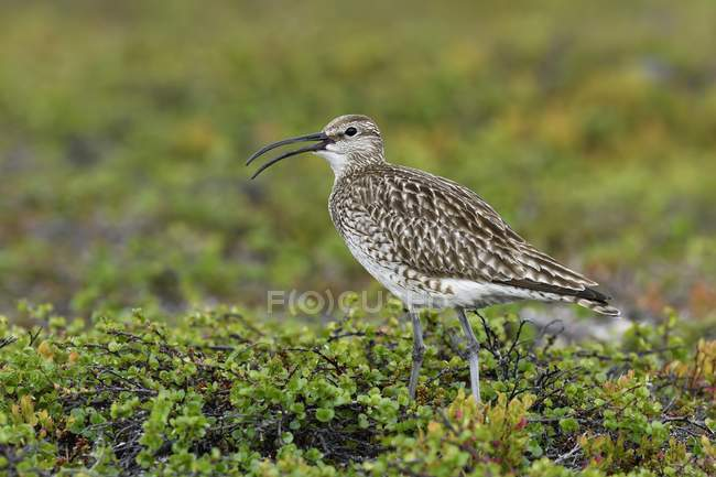 Whimbrel in tundra green vegetation, Varanger, Norway, Europe - foto de stock