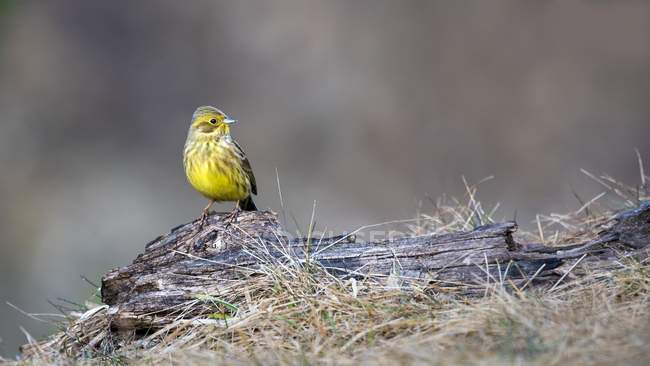 Yellowhammer sparrow sitting on deadwood, Tyrol, Austria, Europe — стоковое фото