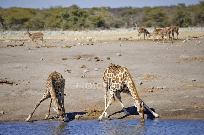 Giraffe che beve al Chudop Waterhole vicino a Namutoni, Parco nazionale di Etosha, Namibia, Africa — Foto stock