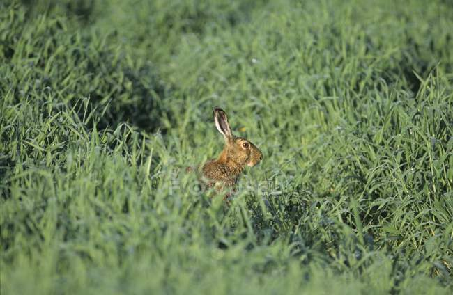 Wild hare sitting in green in meadow grass — Stock Photo