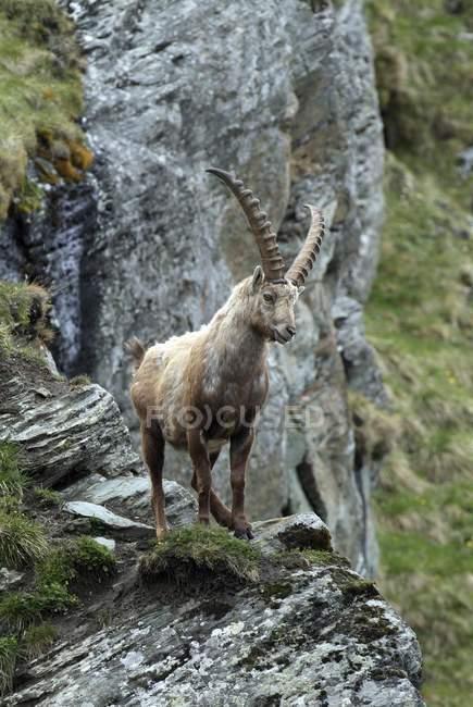 Männlichen Steinböcke auf Rock Ledge, Nationalpark Hohe Tauern, Kärnten, Österreich, Europa — Stockfoto