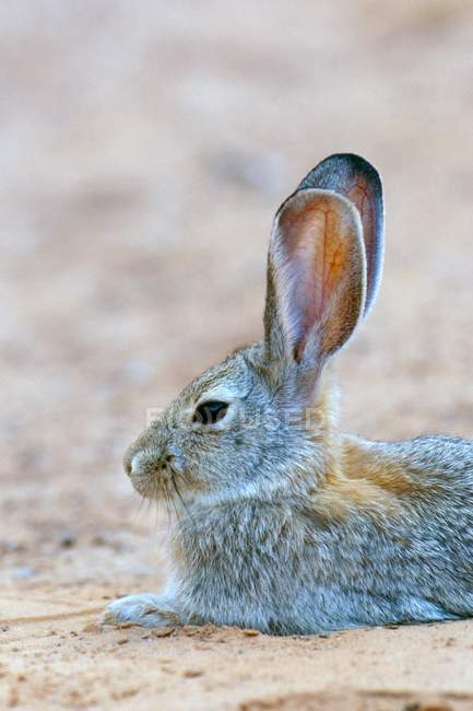 Desert cottontail rabbit in Arches National Park, Utah, USA, North America — стоковое фото